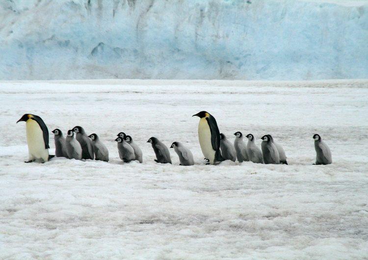 Mueren crías de una colonia de pingüinos emperadores por el derretimiento de su hábitat