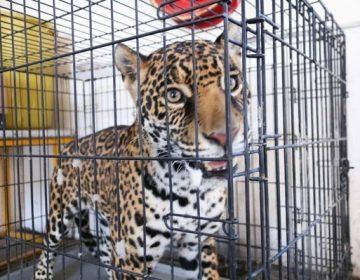 Se quedará el jaguar en el zoológico de Aldama