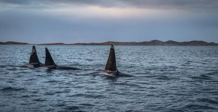 Los tiburones blancos, unos depredadores marinos que le temen a las orcas