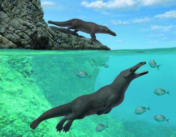 Descubren extraña ballena de cuatro patas con pezuñas y cola parecida a la de las nutrias
