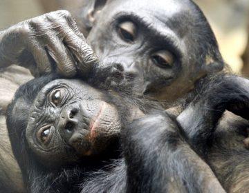 """Las madres bonobos guían y """"cuidan"""" a sus hijos para que puedan aparearse sin ser interrumpidos"""
