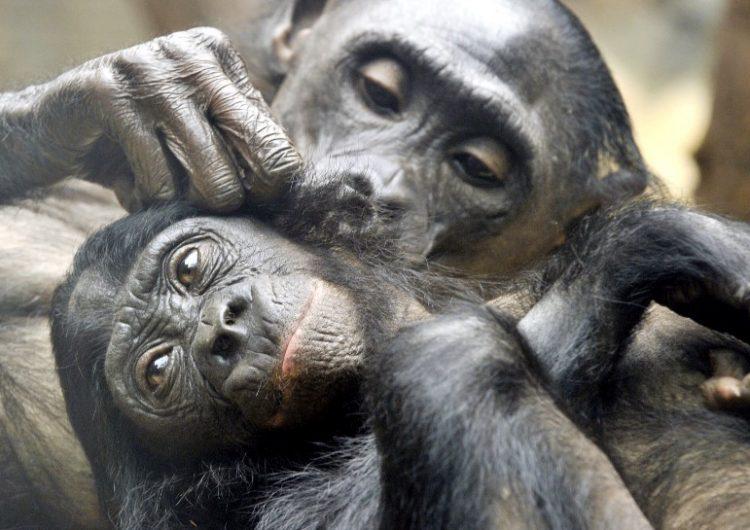 madres-bonobos-hijos-aparearse