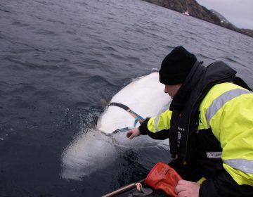 """La ballena """"espía rusa"""" se gana la atención de noruegos; ya buscan ponerle nombre"""
