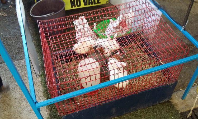Asegura PROESPA conejos y cuyos que eran entregados como premios en la FNSM
