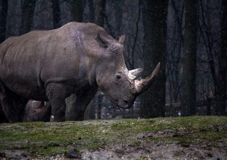 Los animales enormes se están extinguiendo, ahora reducen su tamaño para sobrevivir
