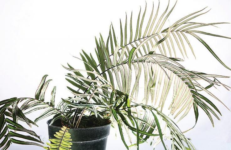 Esta planta absorbe arsénico, sustancia química altamente tóxica para las personas
