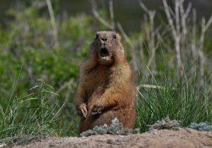 Pareja muere de peste negra en Mongolia tras comer riñones crudos de marmota