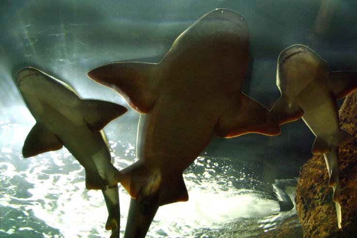 Tras 30 años ausentes, tiburones regresan a las aguas de California
