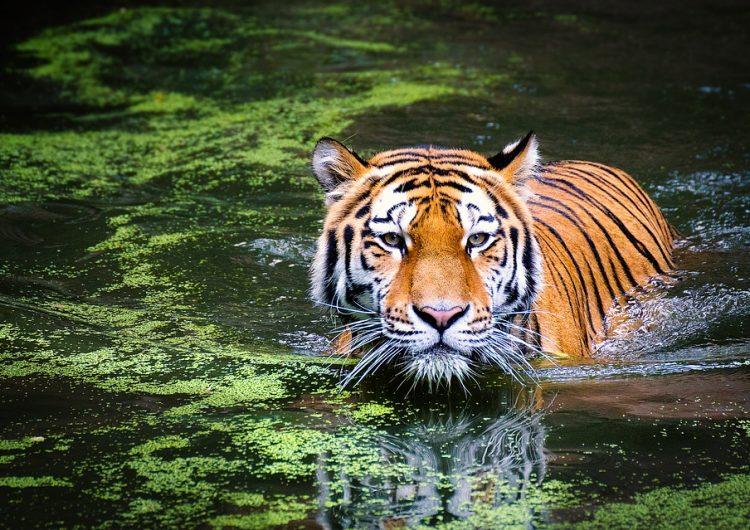 Campaña contra cazadores furtivos da resultados: por primera vez en 15 años hubo aumento de tigres en Bangladesh