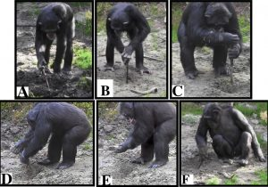 ¿Cómo empezamos a cavar con herramientas en busca de alimentos? Los chimpancés arrojan pistas