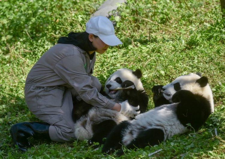 En fotos: Nacen pandas gemelos y con ellos la esperanza preservar la especie