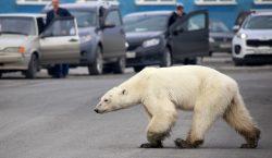 Oso polar busca comida a más de 800 kilómetros de…