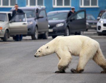 Oso polar busca comida a más de 800 kilómetros de su hábitat natural en Rusia