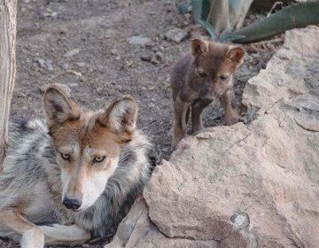 Nacen tres lobos grises en Coahuila