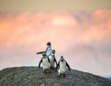 Científicos ataron cámaras a pingüinos africanos: esto es lo que vieron