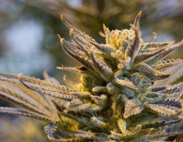 ¿Cuáles son los síntomas de la dependencia a la marihuana?