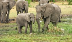 La caza ilegal ha matado a cerca de 400 elefantes…