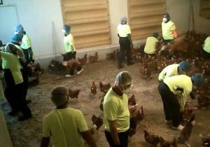 """""""Se siente bien"""": Cámaras captan a trabajadores de granja torturando gallinas por diversión"""