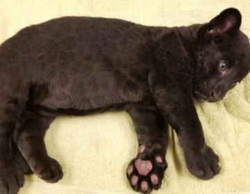 Nace jaguar negro en Zoológico de Sinaloa; realizarán convocatoria para escoger su nombre