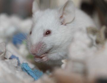 ¿La juventud eterna? Científicos usan sangre de ratones jóvenes para prolongar la vida de roedores más viejos