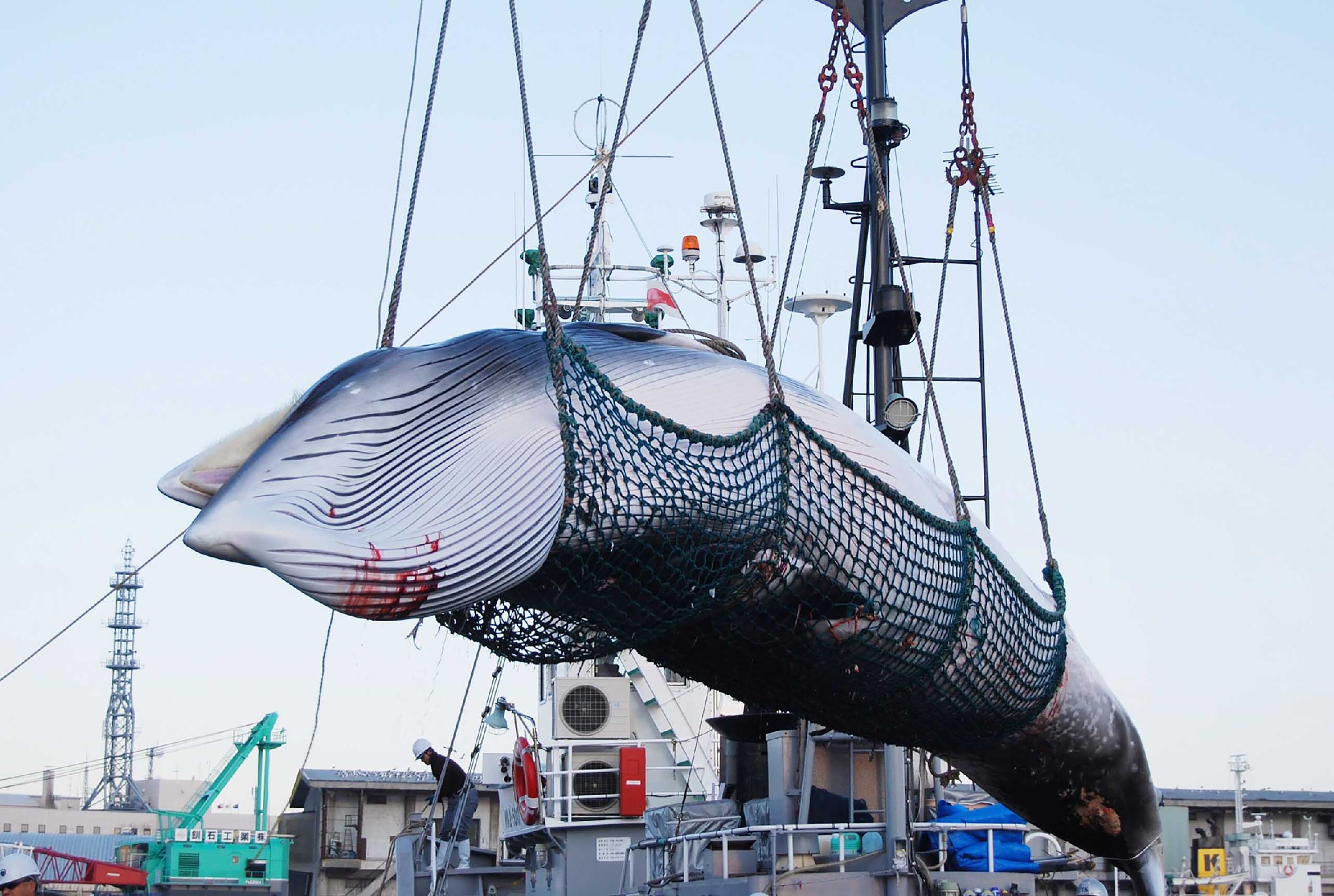 Navíos japoneses cazaron con arpón dos ballenas este lunes en el puerto de Kushiro, Japón. Foto: AFP