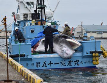 Japón vuelve a cazar ballenas con fines comerciales, actividad que tuvo prohibida por más de 30 años