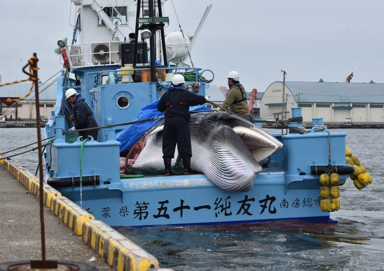 La vuelta a la mar de los balleneros se produce tras la decisión del gobierno de abandonar la Comisión Ballenera Internacional. Foto: AFP