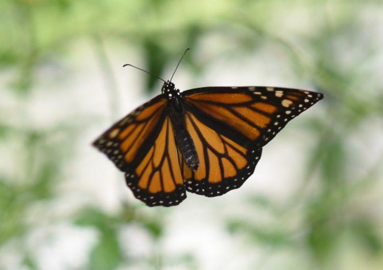 disminución-mariposas-monarca
