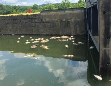 Mueren miles de peces por derrame de whiskey tras incendio en almacén de Jim Beam