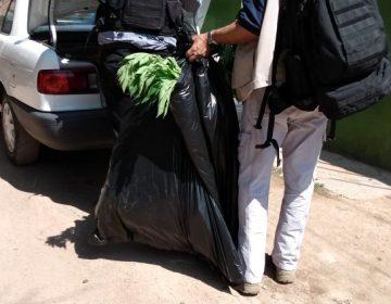 Decomisan 60 plantas de marihuana en Jesús María
