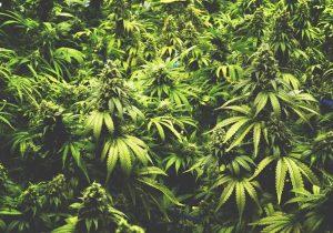 La marihuana puede combatir la crisis de opioides en EU, aseguran consumidores
