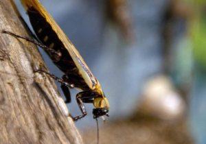 """Las cucarachas son cada vez más resistentes a los insecticidas y controlarlas será """"casi imposible"""""""
