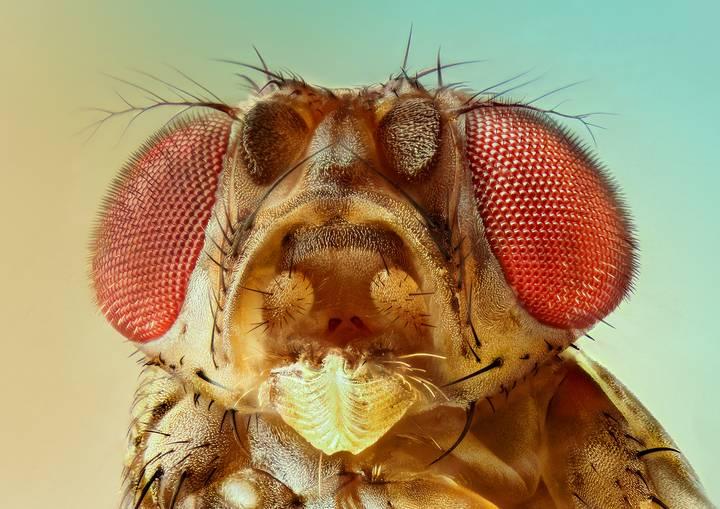 Una mosca lesionada siente dolor crónico como los humanos