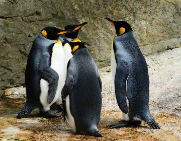 20 pingüinos quedan llenos de petróleo por recarga de combustible en costas de Sudáfrica