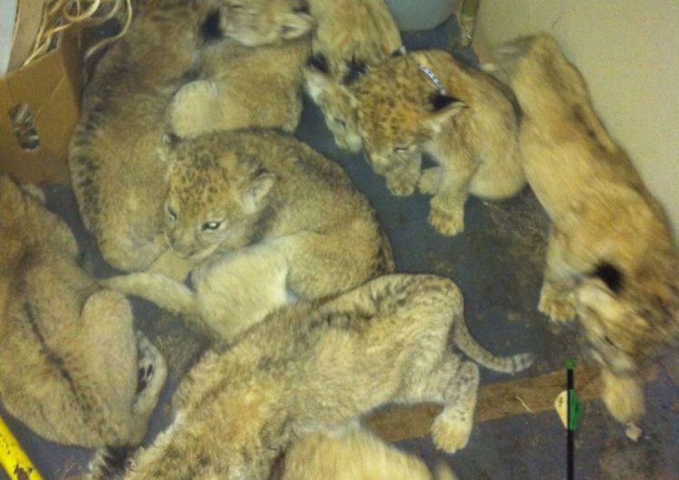 Leones y tigres utilizados para medicina tradicional en Asia viven en condiciones deplorables: World Animal Protection