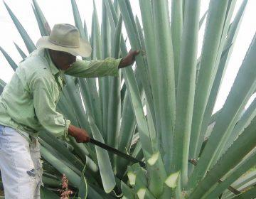 Puebla, segundo productor de mezcal en México
