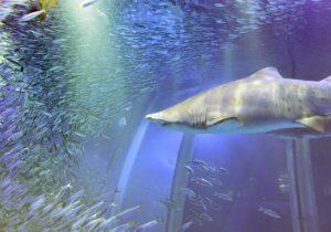 Los tiburones se comen unos a otros dentro del vientre materno, según estudios