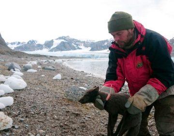 Zorra polar sorprende a investigadores: cruzó 3,500 kilómetros de hielo en 76 días