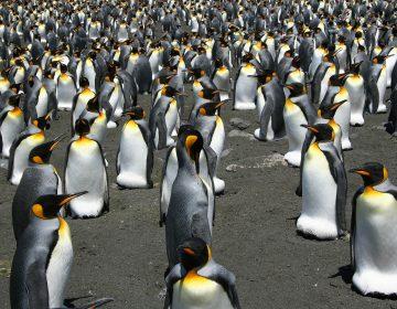 Pareja de pingüinos gay adopta un huevo abandonado