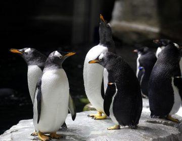 Descubren restos de un pingüino que tenía el peso y el tamaño de un humano