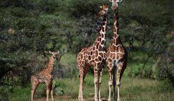 """La amenaza de la """"extinción silenciosa"""" de la jirafa en…"""