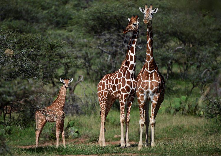 """La amenaza de la """"extinción silenciosa"""" de la jirafa en África"""