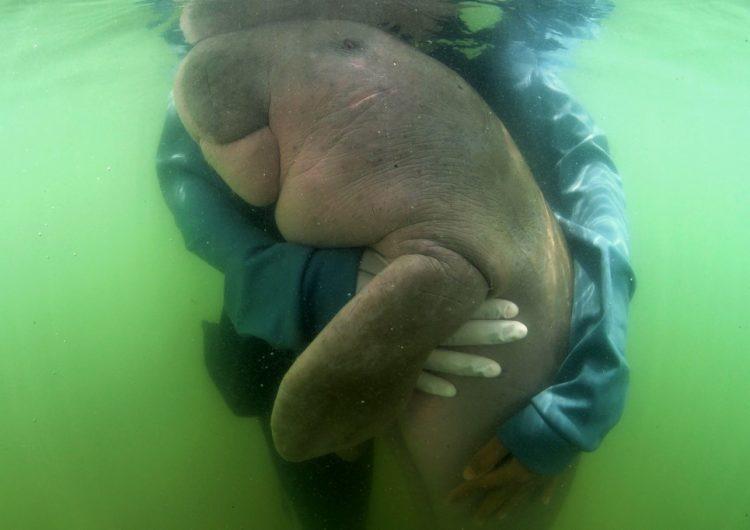 Muere bebé dugongo de una infección por plástico en su estómago
