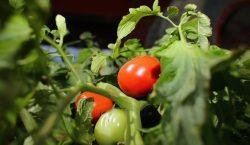 Tomateros de México y el gobierno de EU alcanzan primer…