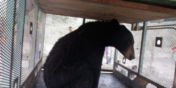 Tras muerte de oso atropellado, así cuidarán a los osos en Coahuila