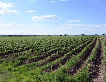 Se perdieron 54 mil hectáreas de siembra de temporal en Aguascalientes