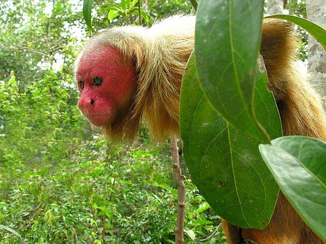 Amazonas-ucarí-selva amazónica-brasil