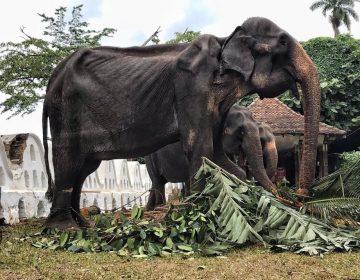 Fotografías revelan el maltrato que sufren elefantes que participan en fiesta religiosa en Sri Lanka