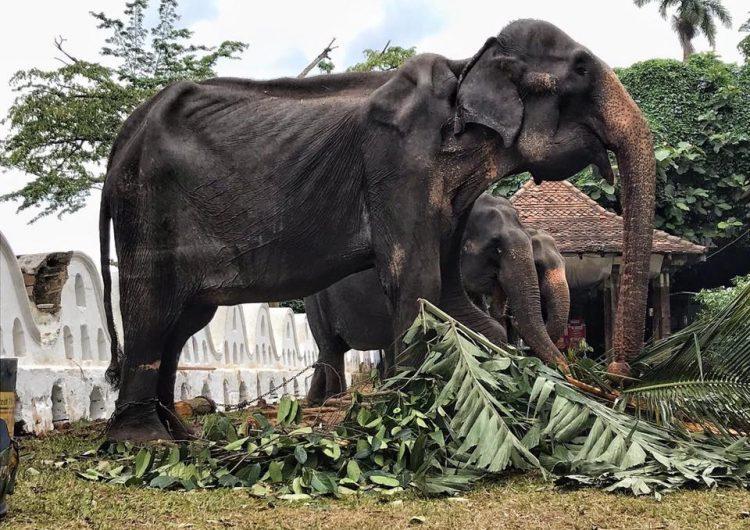 elefantes-sri-lanka-maltrato-animal