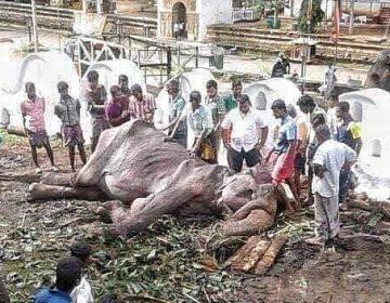 ONG publica nuevas imágenes de Tikiri, la elefanta maltratada en Sri Lanka